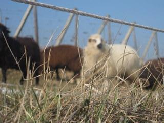humbrecht sheep