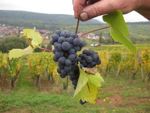 Pinot Noir fromAlsace