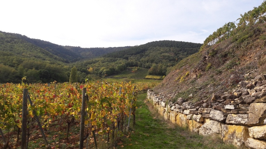 Harvest in Alsace: Dirler-Cadé, Zusslin, Martin Schaetzel by Kirrenbourg, Bott-Geyl & Jean-MarcBernhard